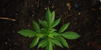 how to plant cannabis