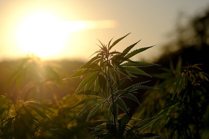 How To Maximize Your Cannabis Yield